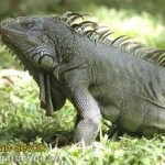 BDT wildlife iguana