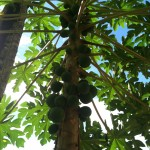 Papaya Tree on Red Frog Beach