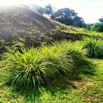 Lemongrass growing at Villa 62 - Red Frog Beach